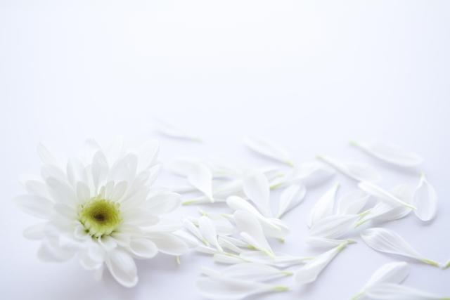 散らばる白菊の花